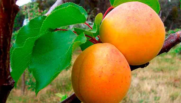 Плод жёлто-оранжевый круглый бархатистый, растет на дереве?